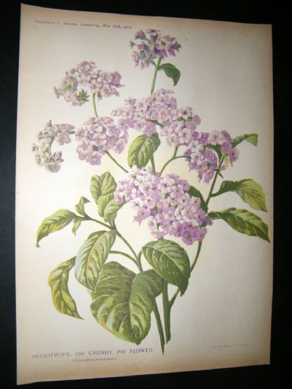 Amateur Gardening 1903 Botanical Print. Heliotrope or Cherry Pei Flower | Albion Prints